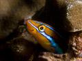 Blaustreifen-Saebelzahnschleimfisch (Plagiotremus rhinorhynchus)