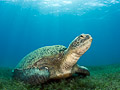 grazing turtle