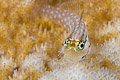 Red Sea combtooth blenny (Ecsenius dentex)