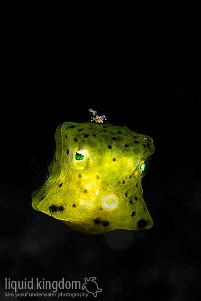 Juveniler Kofferfisch