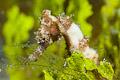 juvenile thorny seahorse(Hippocampus histrix)