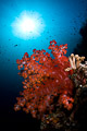 soft coral and sun