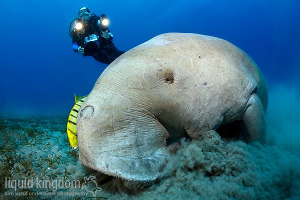 Dugong I
