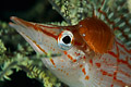 parasite on longnose hawkfish