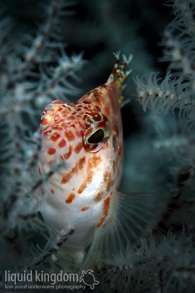 Blotched hawkfish (Cirrhitichthys aprinus)