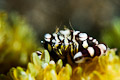 Harlequin crab (lissocarcinus orbicularis)