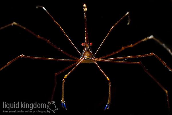 Arrow Crab (Stenorhynchus seticornis)