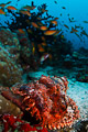 scorpionfish in the reef