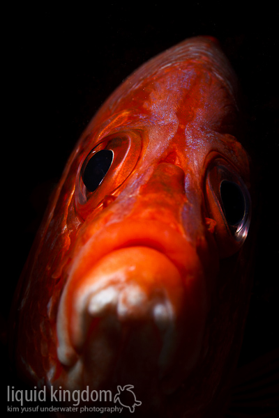 longjawed squirrelfish  portrait
