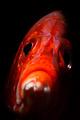 longjawed squirrelfish  portrait