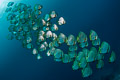 Orbicular batfish school