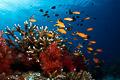 Fiji reefscene