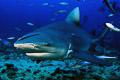 Fiji Sharkdive