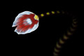 ringed pipefish tail