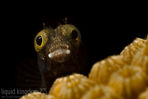 Secretary Blenny II