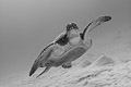 Green sea turtle b/w