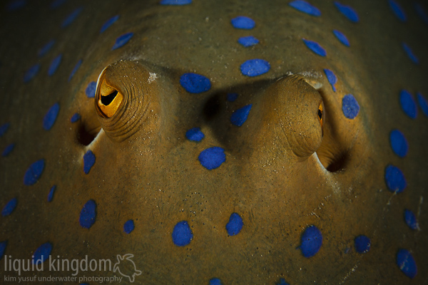 bluespotted ribbontail ray eyes