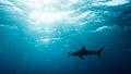 Oceanic whitetip shark silhouette