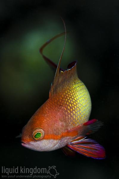 male jewel fairy basslet
