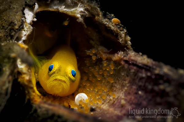 yellow clown goby with eggs